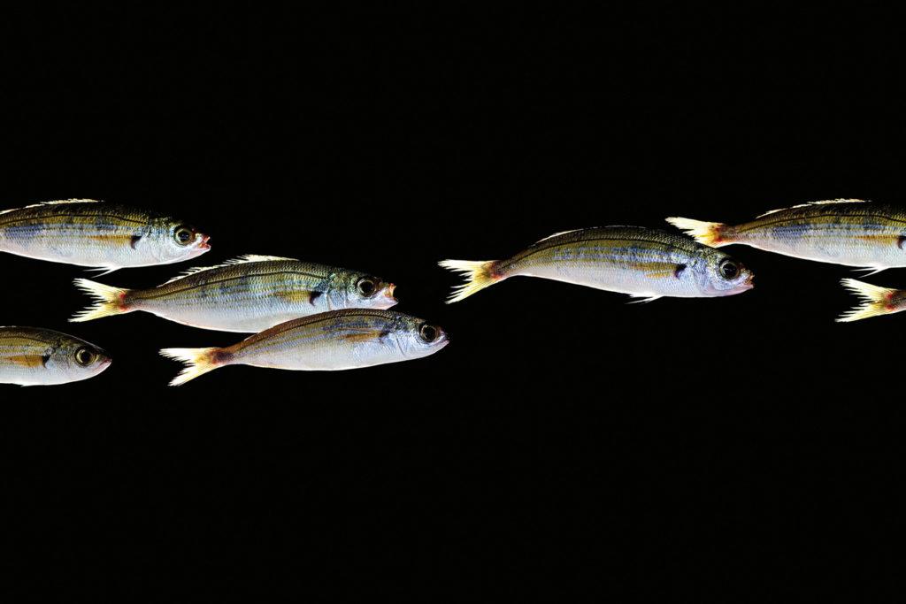 fotografie d'arte di pesci del mare mediterraneo, le vope