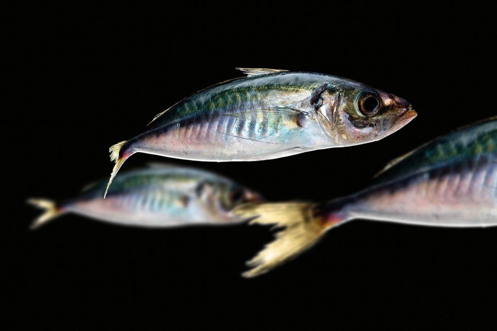 fotografie d'arte di pesci del mare mediterraneo, i sauri