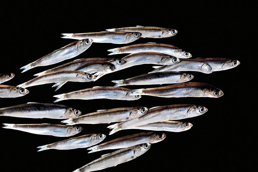 fotografie d'arte di pesci del mare mediterraneo, le alici