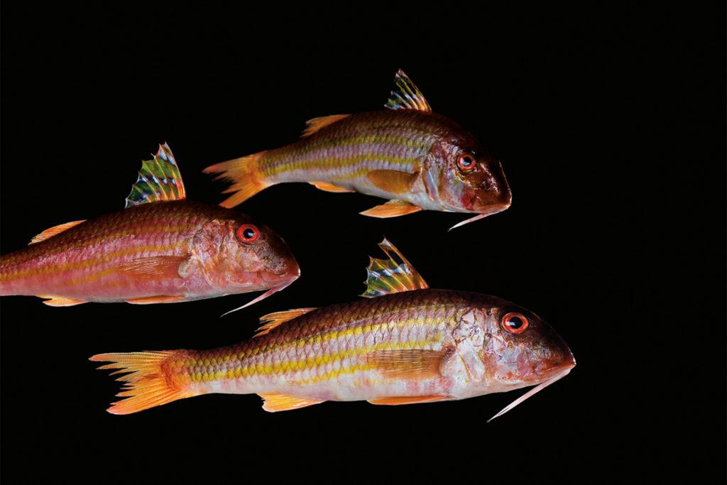 fotografie d'arte di pesci del mare mediterraneo, le triglie
