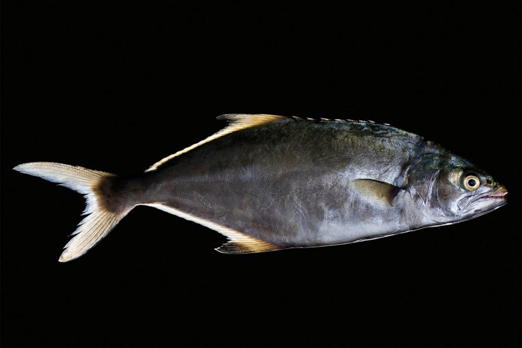 fotografie d'arte di pesci del mare mediterraneo, il pesce stella