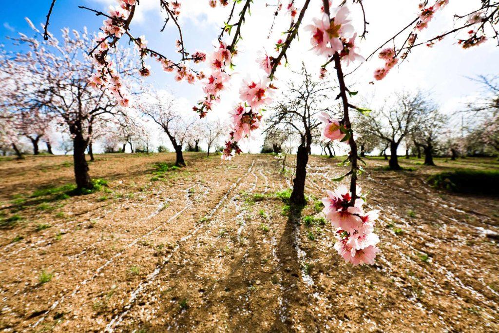 fotografia di paesaggio, alberi, campagna e fiore di mandorlo